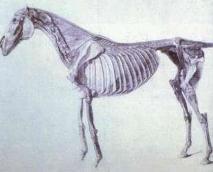 Diagram from The Anatomy of the Horse — Джордж Стаббс